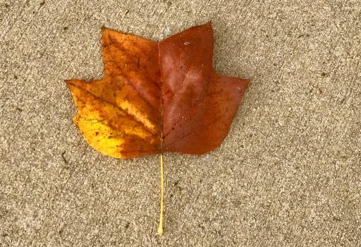 Fall Changing Leaf