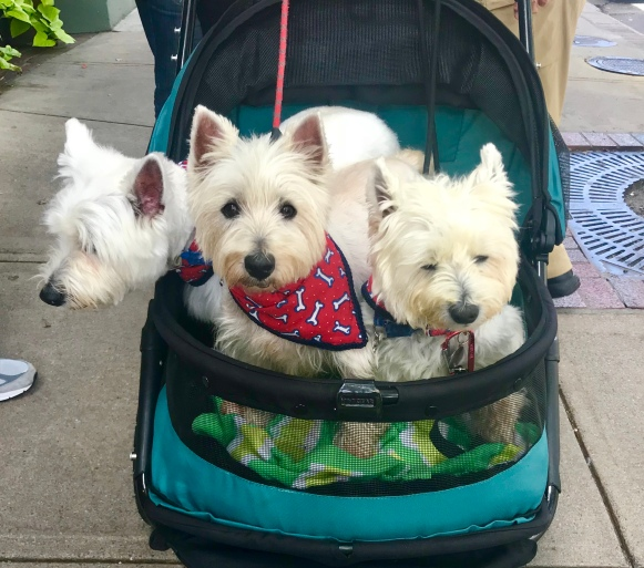 Three dogs in a buggy